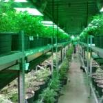Cannabis terapeutica. Passo avanti all'Ars. M5S: Subito tavolo tecnico