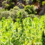 Pd e Forza Italia bloccano l'autoproduzione di cannabis per i malati